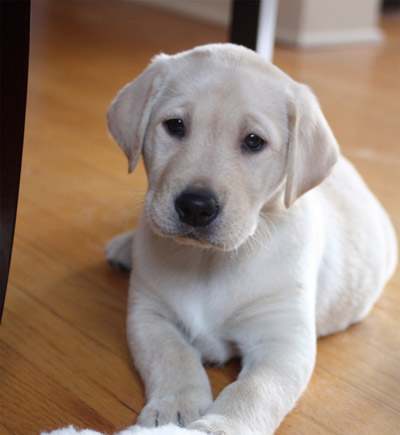 Yellow  Puppies on Pin Yellow Lab Puppies Desktop Wallpaper On Pinterest