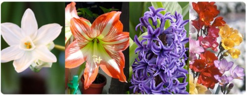 paperwhites, amaryllis, hyacinth & freesia