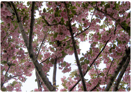 New York spring cherry blossoms