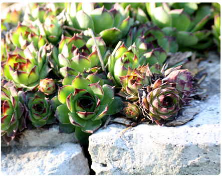 Succulent Rock Garden Ideas Photograph Succulents Rock Garden