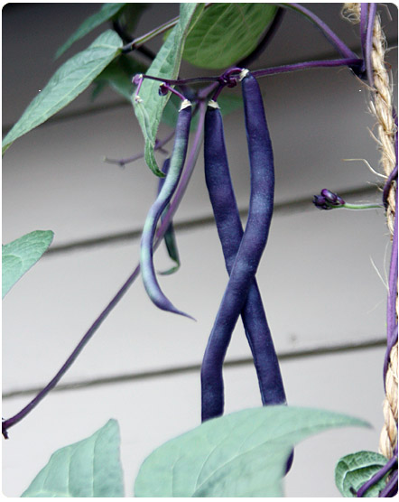 purple green-beans