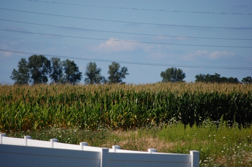 Corn Field Backyard